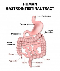 diagram-of-the-gastrointestinal-tract-including-stomach
