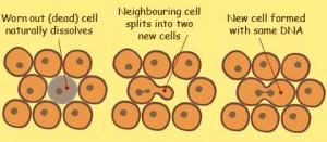 cells-divide